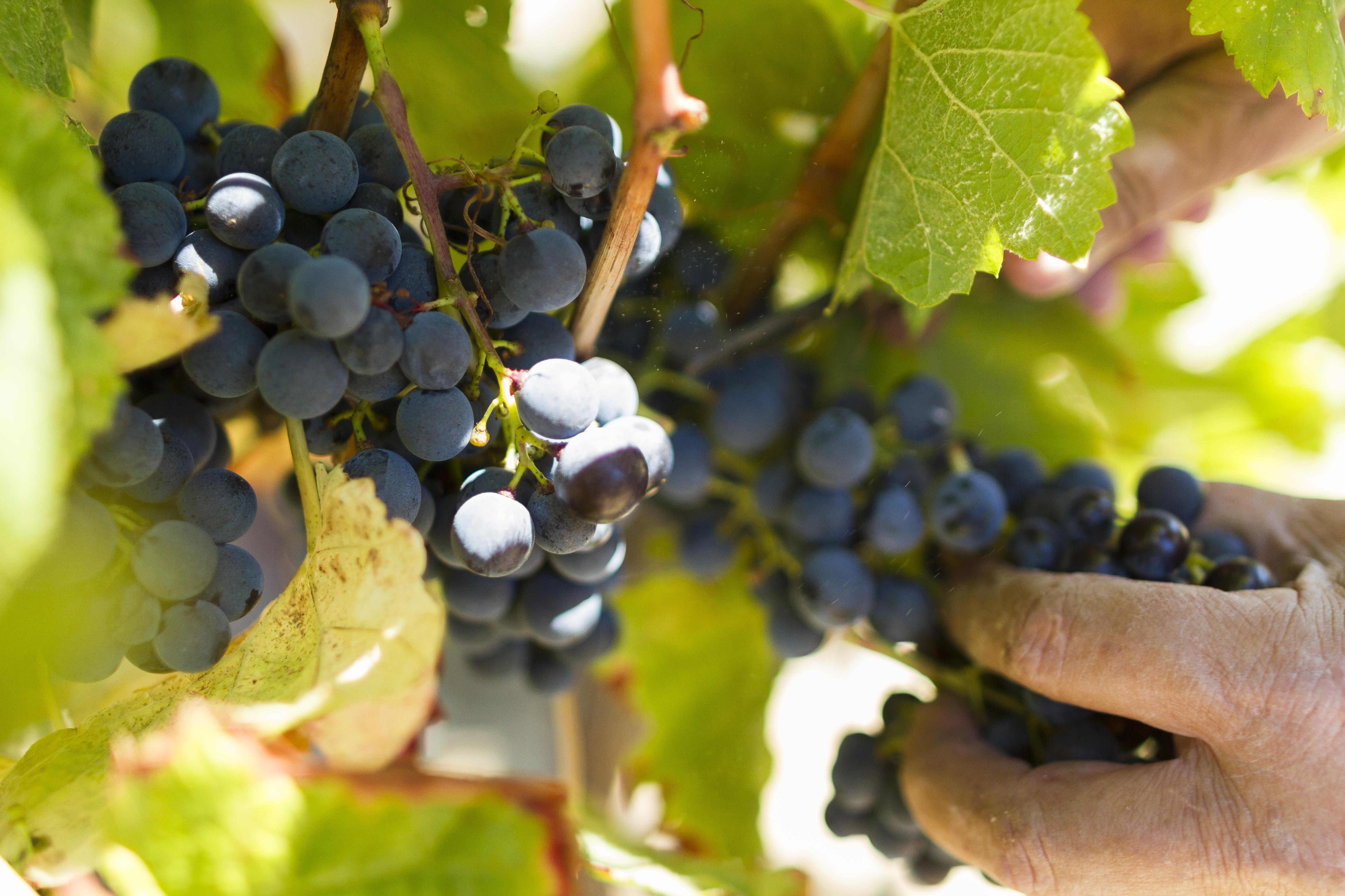 Wijnrank